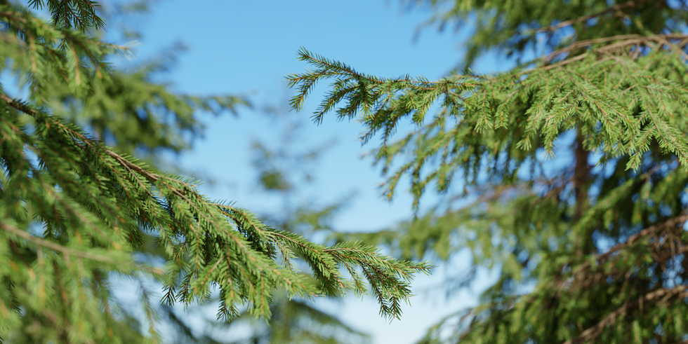 Picea_04(3-3.8m) 01.png