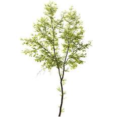 Tree - Acer Negundo 01 (23m)