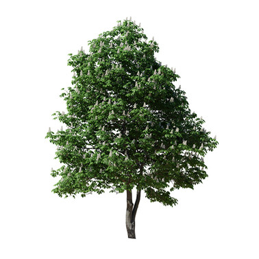 Chestnut Tree 02 (12m)