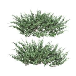 Juniperus Sabina 01 2 Bushes