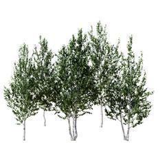Birch Betula - Set Of 5 Trees (4.8-6.5m)