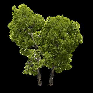 DECIDOUS TREES