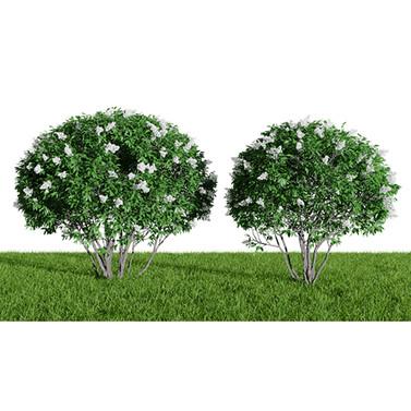 Ligustrum Flowering (Biryuchina)