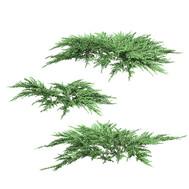 Juniperus Squamata 02 - 3 Bushes