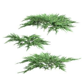 Juniperus Squamata 02