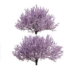 Prunus Tomentosa Cherry Tree (2 Types)