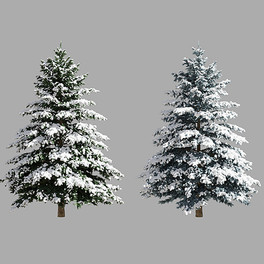 Picea Pungens Winter 03 (5.2m) Spruce