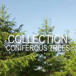 c coniferous.jpg