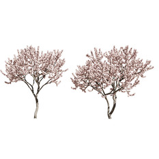 Malus Flowering set of 2