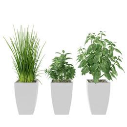 Kitchen Herbs Basil, Mint, Garlic Grass.