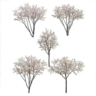 Malus Hybridus Flowering - Set Of 5 Tree