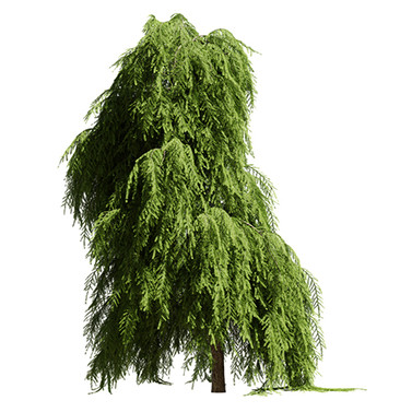 Tree Tsuga Canadensis Pendula - Eastern
