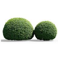 Buxus Globe Bush (Set Of 2)