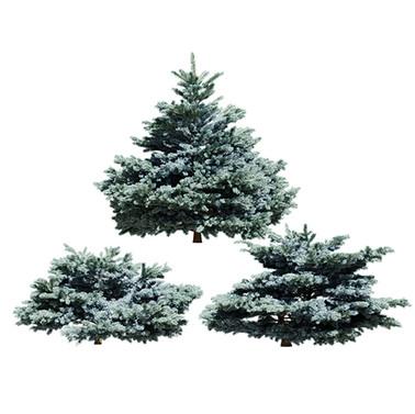 Tree - Glauca Globosa - Blue Spruce - Se