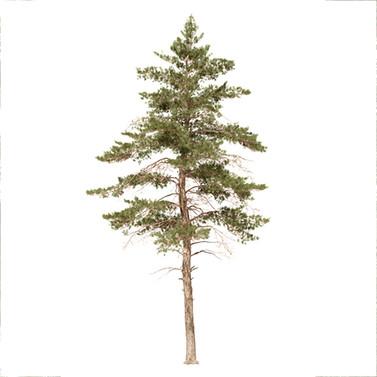 Pinus Large 04