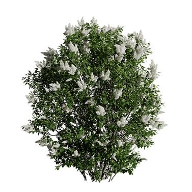 Lilac Siringa Vulgaris Blooming Bush