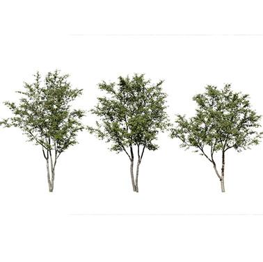 Cherry Tree (Prunus Cerasus) 3 Pieces