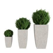 Buxus Plant Realistic