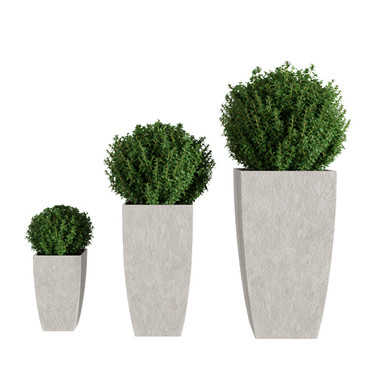 Buxus Plant Realistic