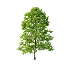 Tree - Platanus Tree 07