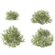 Salix Myrsinifolia - Set Of 4 Bushes
