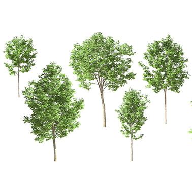 Maple Trees 10 (Set Of 5 Trees 3.7-6m)