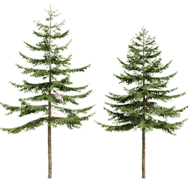 Picea (4.8m - 5.4m)