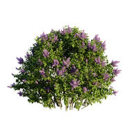 Syringa_vulgaris_02_lilac_flowerin