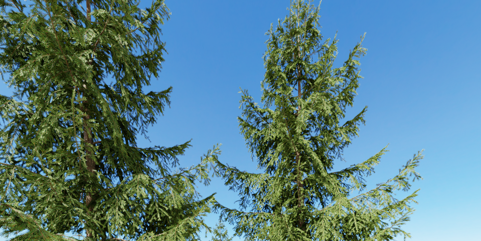 Picea_07(8,4m) 02.png