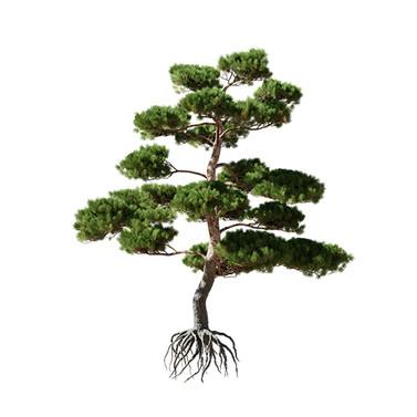 Pinus  Bonsai_01