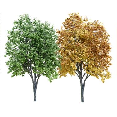 Maple Tree (9m) Acer Summer+Autumn Versi
