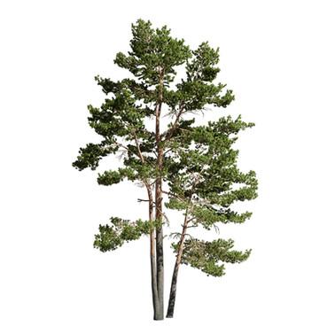 Pinus_Sylvestris_024