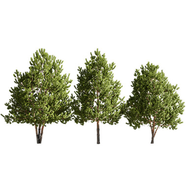 Tree - Pinus Sylvestris (6,7 - 7,6m) - S