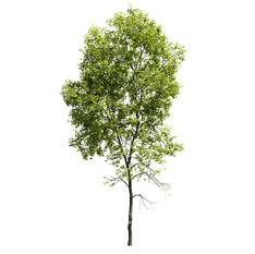 Ash-tree_05(21.2m)