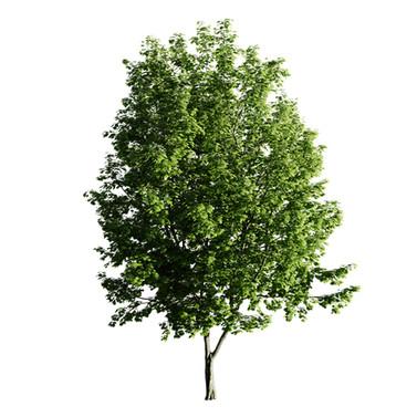 Maple Tree 07 (14.7m) Acer