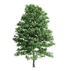 Chestnut Tree 01(15m)