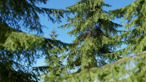 spruce spruce.jpg