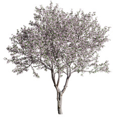 Cherry-Tree_flowering(Cerasus)