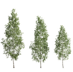 Birch_forest_part_12