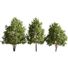 Pinus Sylvestris 27
