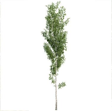 Birch Betula Tree (17.5m)