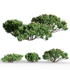 Mountain Pine Small set of 3
