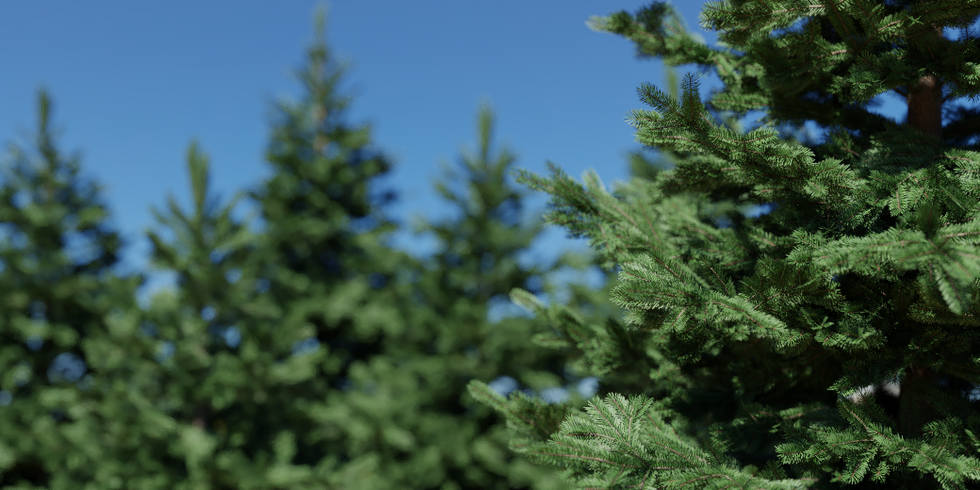 Picea_02.png