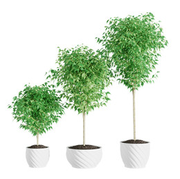 Interior Plants - Ficus