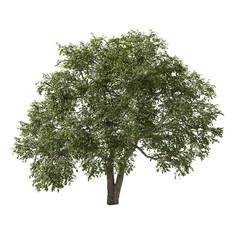Elm Tree 01 (12,5m)