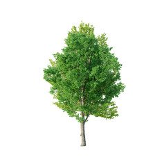 Tree - Poplar Tree 02