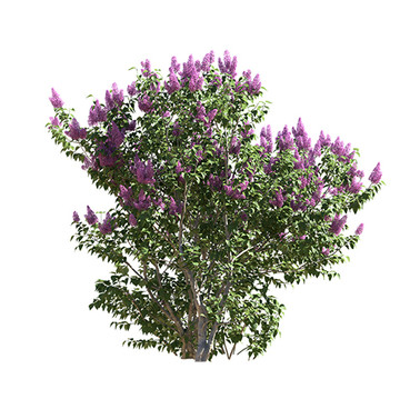 Common Lilac (Syringa Vulgaris) 5 Piece
