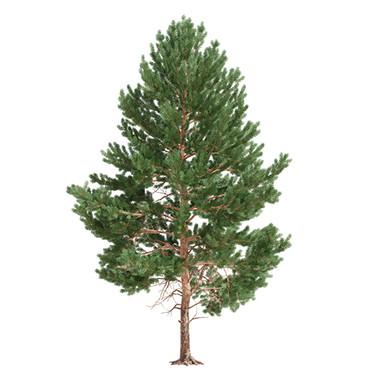 Pinus_05