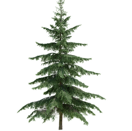 Spruces_05