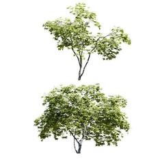 Acer Palmatum - Emperor Maple